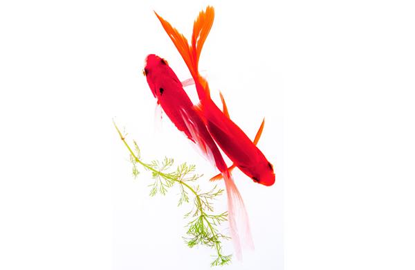 Jenis Parasit Protozoa pada Ikan Koi