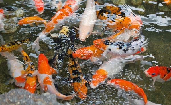 ciri-ciri ikan koi berkualitas