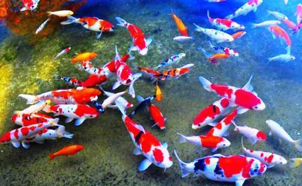 Cara Memilih Ikan Koi untuk Kontes