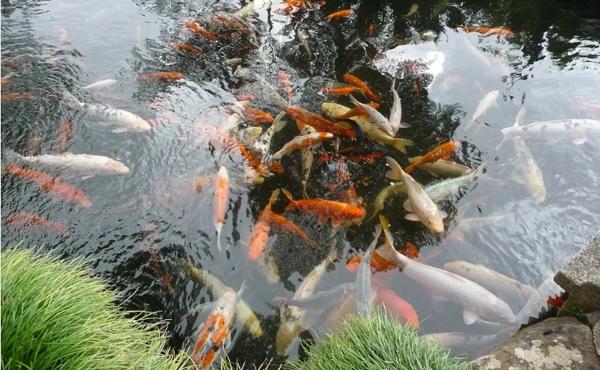 Cara Merawat Air Kolam Ikan Koi