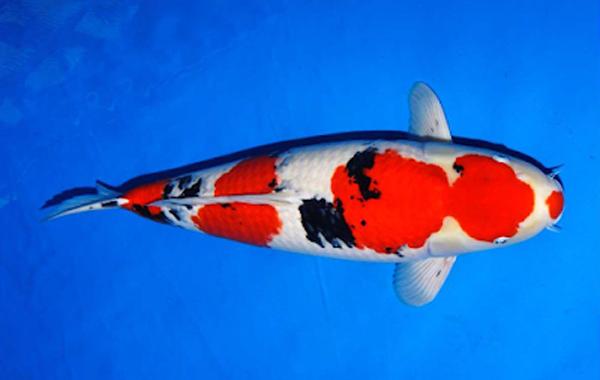 Ciri-ciri ikan koi sanke yang bagus