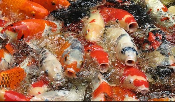 Harga Ikan Koi Blitar Terbaru
