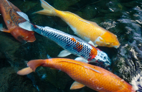Jenis Ikan Koi Berkualitas Terbaik