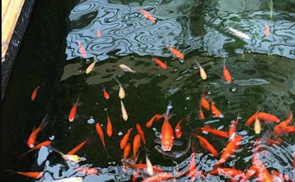 Jual Ikan Koi Blitar di Jakarta
