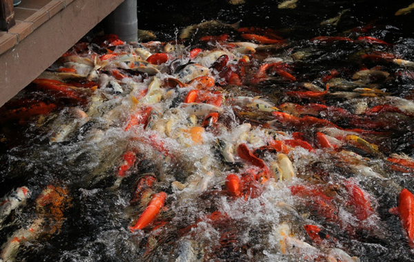 Pakan Ikan Koi dari Tumbuhan