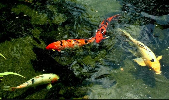 Penyakit Fin Rot pada Ikan Koi
