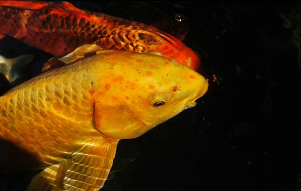 Ciri penyakit Kutu Ikan Koi