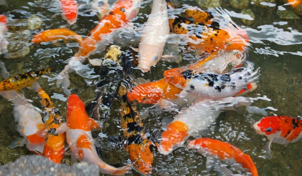 Jual Ikan Koi Bandung