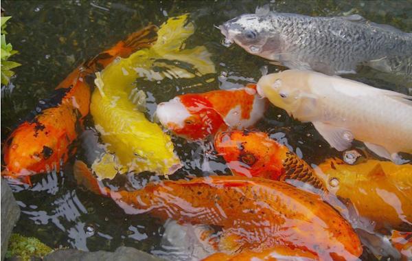Jual Ikan Koi Tangerang