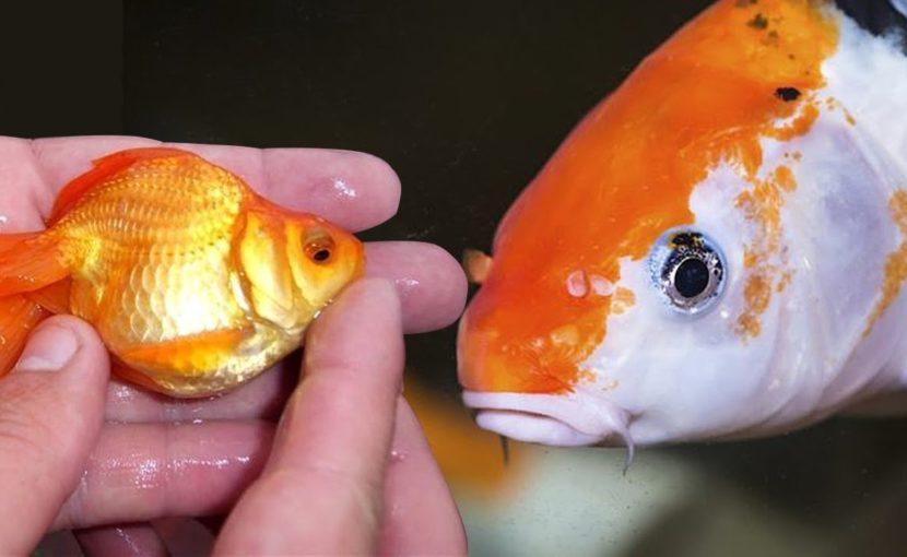 Mengapa Koi dan Ikan Mas Begitu Mirip?