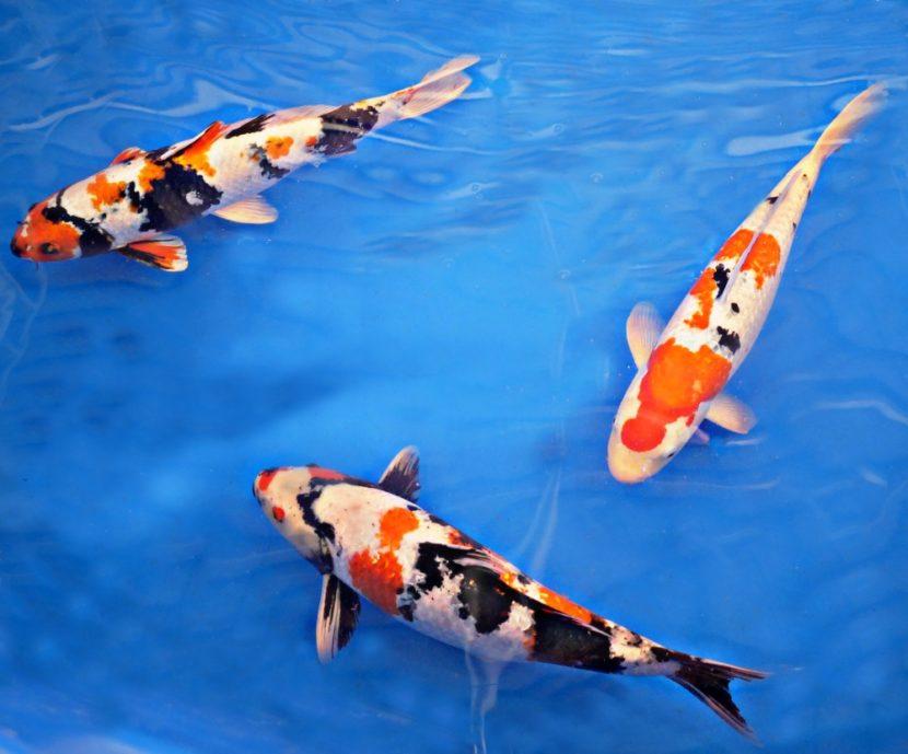 10 Fakta Unik tentang Ikan Koi untuk Anda Ketahui
