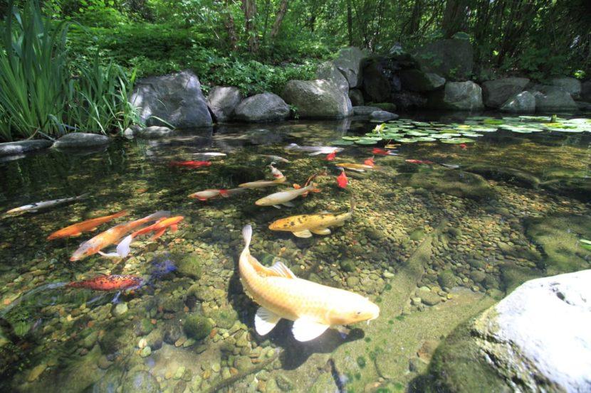 5 Makhluk Air yang Akan Hidup Harmonis di Kolam Koi