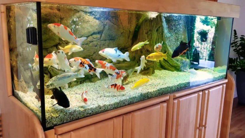 7 Langkah Mudah Memelihara Ikan Koi di Akuarium yang Perlu Diperhatikan