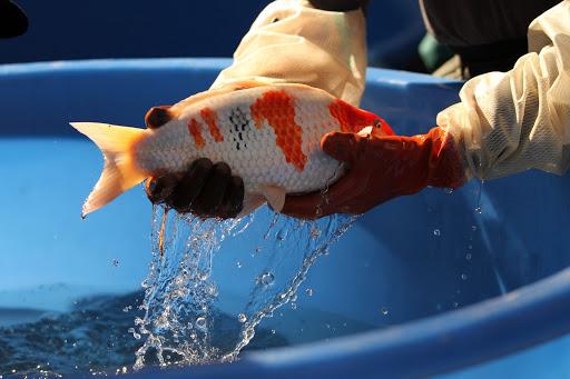 Cara Mengobati Penyakit Tidur pada Ikan Koi