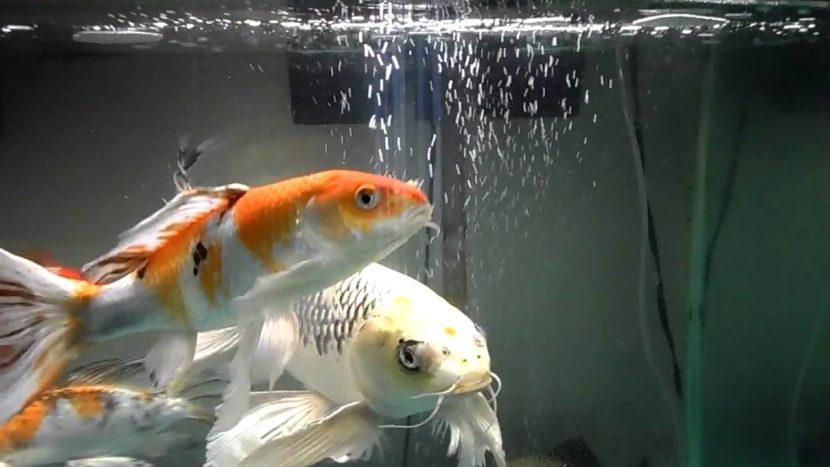 Hal Penting yang Harus Diperhatikan Dalam Membersihkan Air Akuarium Ikan Koi