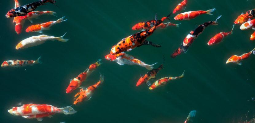 Jual Ikan Koi Blitar untuk Menambah Penghasilan