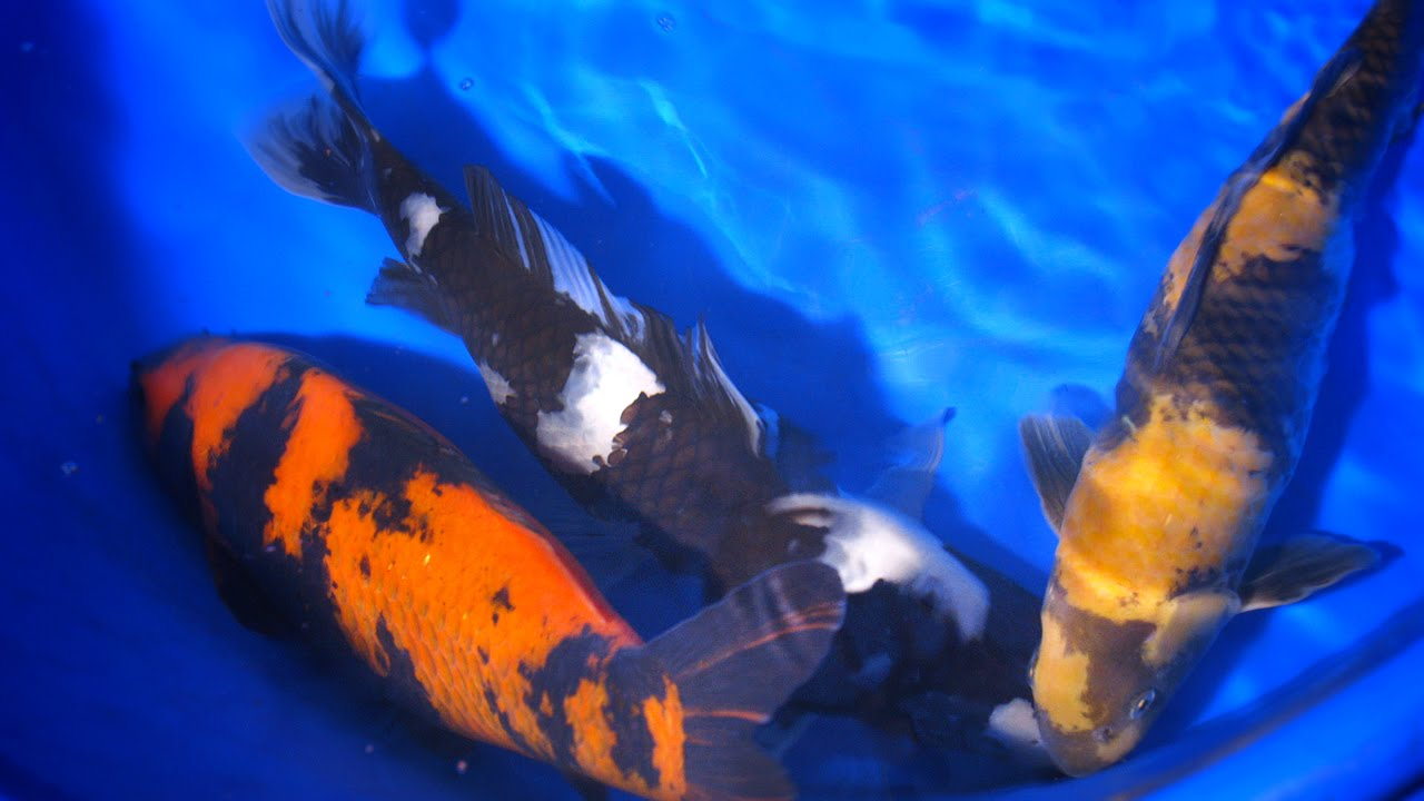 Mengenal Warna dan Pola Ikan Koi Utsurimono