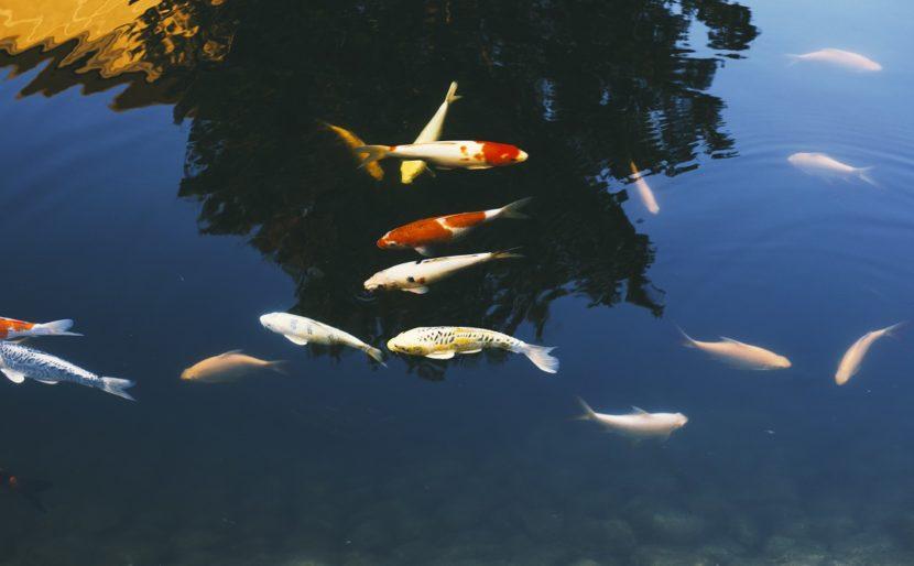 Pelajari Tentang Amonia dan Cara Menurunkannya Di Kolam dan Akuarium