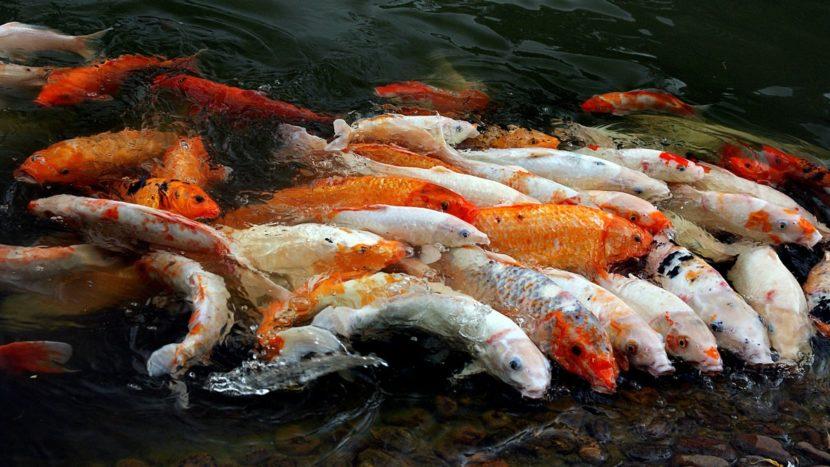 Tempat Tepat yang Jual Ikan Koi Blitar Murah Standar Import dan Terbaik